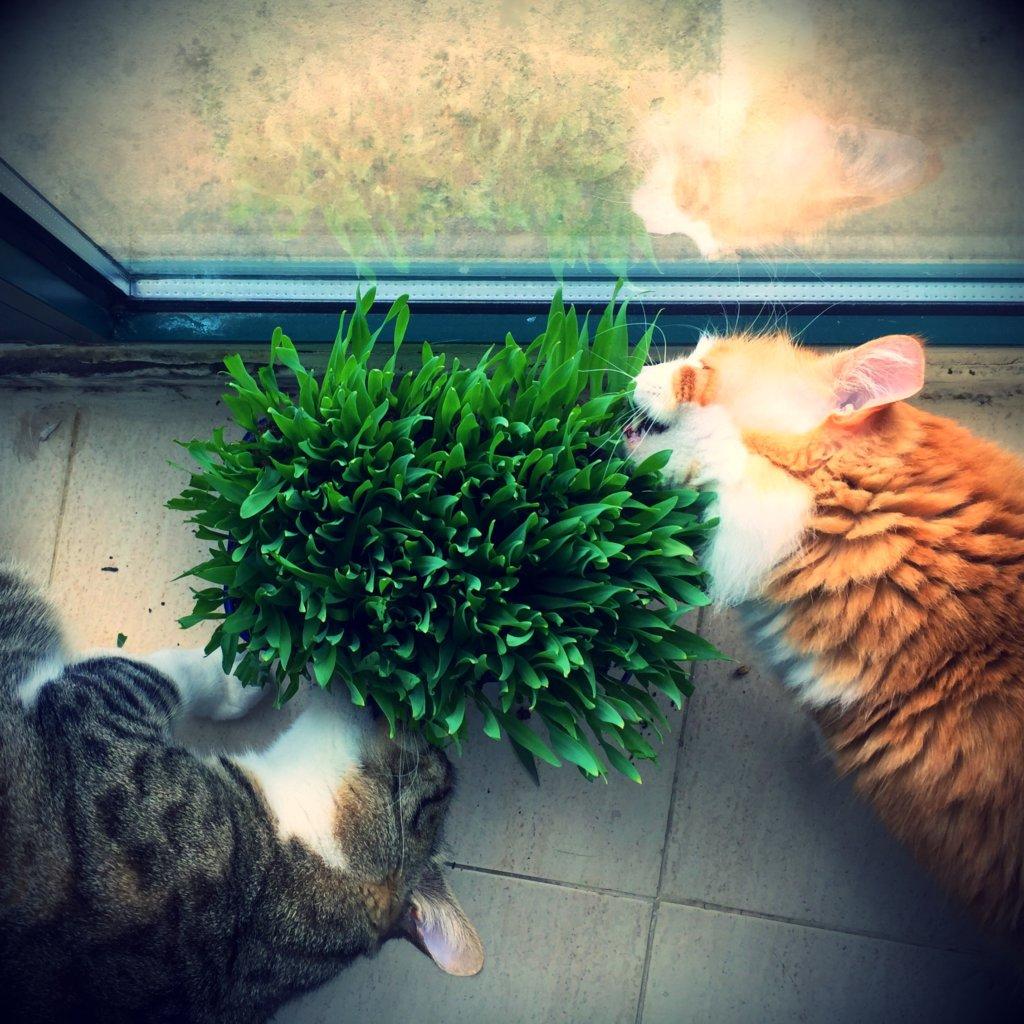 Benti macskáknak is szükségük van a zöld fűre